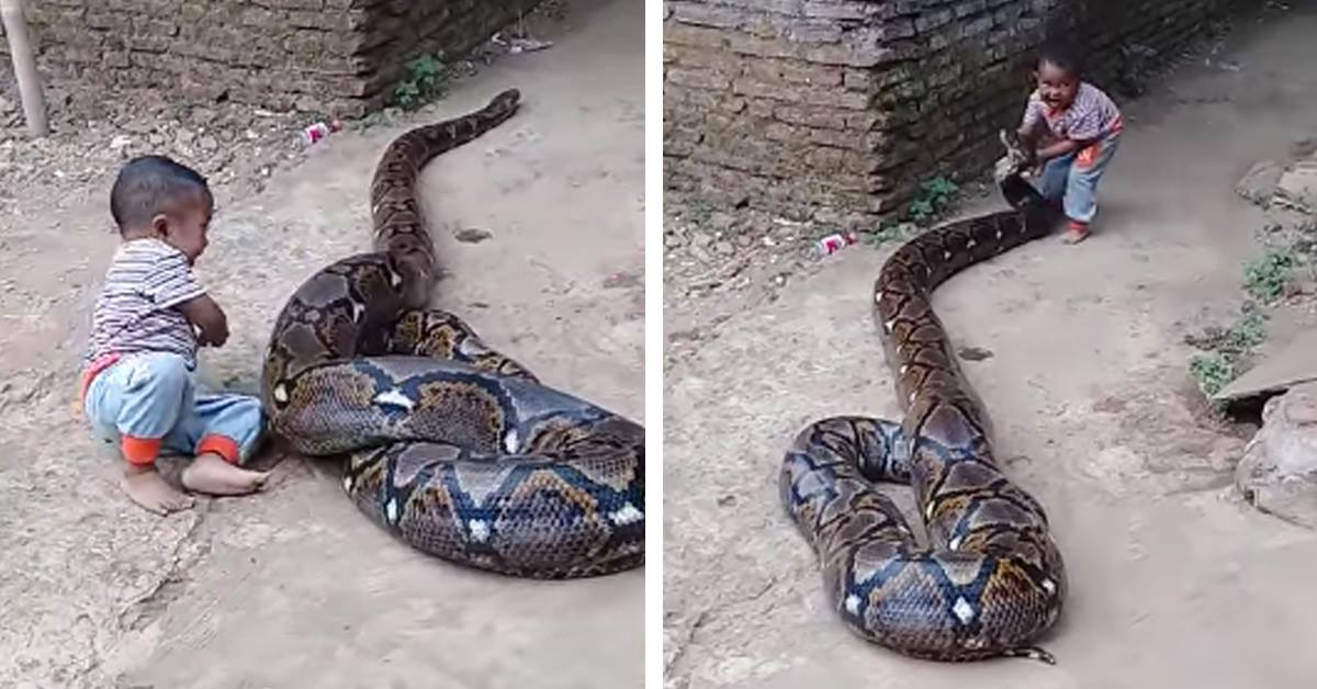 """Parents Laugh As They Film Baby Boy """"Playing"""" With Deadly Python"""