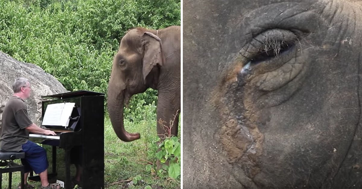 Retired Pianist Is Living Out His Days Playing To Elderly, Injured Elephants And Their Reactions Are Amazing