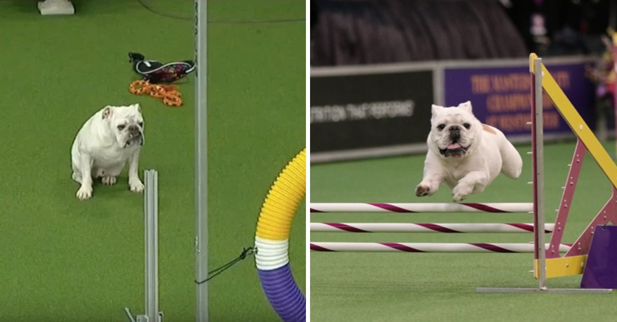 Bulldog Defies Expectations And Absolutely Nails Speed & Agility Course At Dog Show