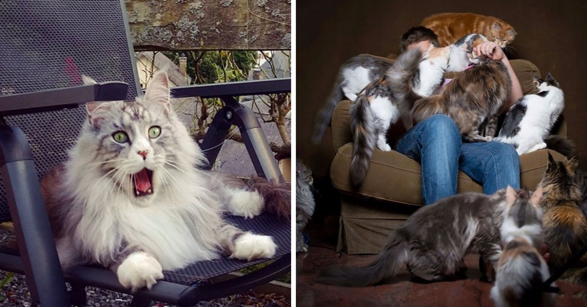 20 Adorable Pics That Prove Maine Coon Cats Are The Funniest Around!