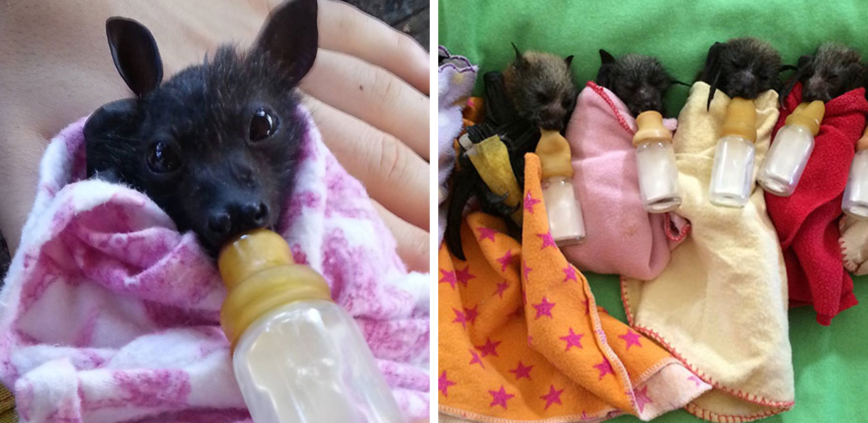Australian Clinic Shares Pictures Of Tiny Infant Bats It Looks After And They'll Melt Your Heart