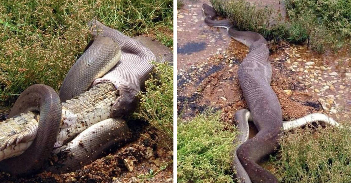Terrified Kayaker Discovers Massive Python Swallowing Huge Crocodile Whole In Australian Swap